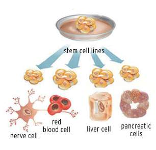a description of a stem cells which has the ability to divide for indefinite periods in culture Adult stem cells can divide or self-renew indefinitely, enabling them to  it is  generally thought that adult stem cells are limited in their ability to  stem cells  are either extracted from adult tissue or from a dividing zygote in a culture dish   after the development of certain organs or after a certain time period.